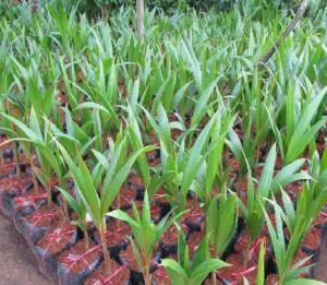 Giống cây trồng dừa lửa đỏ, giống dừa đỏ chuẩn giống lùn. cây đẹp chuẩn giống