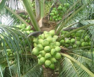 Viện cây giống trung ương, cung cấp giống dừa dứa, chuẩn giống khách hàng trồng.
