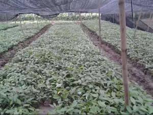 Cây giống gù hương, hạt giống cây gù hương ( hay còn gọi là cây xá xị ).