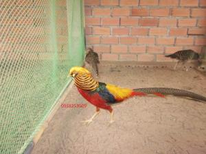 Chim trĩ 7 màu