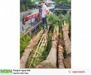 Cây dừa xiêm lùn trồng trọn gói
