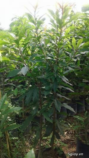 Cung cấp giống cây vối nếp, cây con, cây trưởng thành vừa làm cảnh, vừa lấy lá uống rất mát. phù hợp với cơ thể
