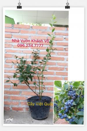 Cây Việt Quất Đã Ra Trái