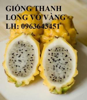 Cung cấp cây giống thanh long vỏ vàng, giống cây thanh long vỏ vàng Malaysia nhập khẩu chuẩn, uy tín