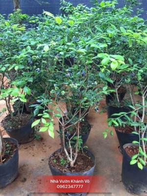Việt Quất (Blueberry) Và Những Công Dụng Tuyệt Diệu