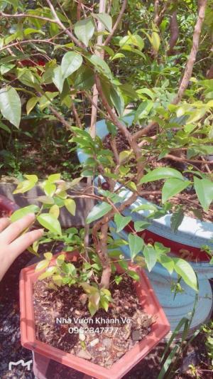 Nho Thân gỗ giống mới ra trái quanh năm