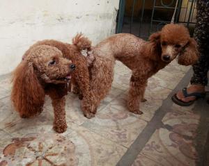 Nhận Phối Giống Poodle