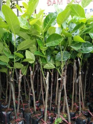 Giống cây mít thái siêu sớm, mít ruột đỏ, mít Malaisia