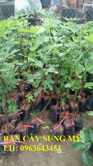 Cung cấp cây giống sung Mỹ, cây sung Mỹ đang có quả, cây sung Mỹ trồng chậu bon sai