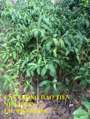 Chuyên cung cấp cây giống đào tiên Nhật Bản, cây giống đào tiên chịu nhiệt, cây đào ăn quả nhập khẩu