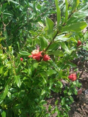 Cây lựu đỏ Ấn Độ - Giống cây đang hót ở Việt Nam