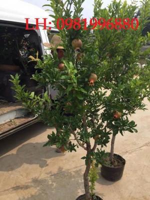 Giống cây Lựu đỏ Ấn Độ - Giống cây F1,Chất lượng,uy tín