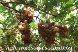 Giống nho Ninh Thuận, nho đặc sản uy tín chất lượng, giao hàng toàn quốc