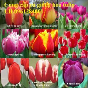 Chuyên cung cấp sỉ, lẻ củ hoa tulip, củ hoa tulip Hà Lan chuẩn giống, hỗ trợ kỹ thuật trồng và chăm sóc