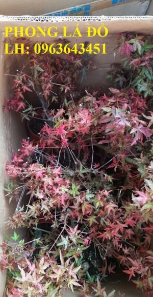 Cung cấp cây phong lá đỏ, cây phong lá đỏ cỡ lớn, cây phong lá đỏ bonsai làm cảnh, uy tín,chất lượng