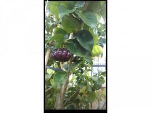 Cây giống Suriname cherry trái đen