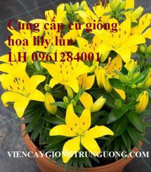 Chuyên sỉ, lẻ củ hoa lily lùn, kỹ thuật trồng hoa ly lùn trong chậu đón Tết