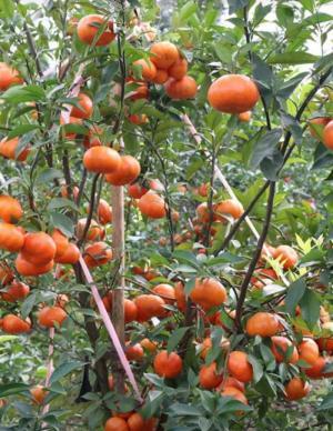 Giống cây cam đường canh