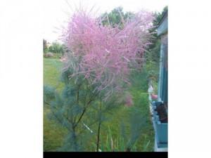 Cây tùng hồng ( Pink Cascade )