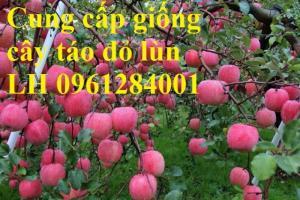 Trồng táo tây siêu lùn, cây táo đỏ lùn F1, táo đỏ, cây giống nhập khẩu chất lượng cao