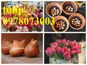 CỦ GIỐNG HOA TUYLIP - Viện cây giống Trung ương chuyên cung cấp củ giấo hoa Tuylip chất lượng cao
