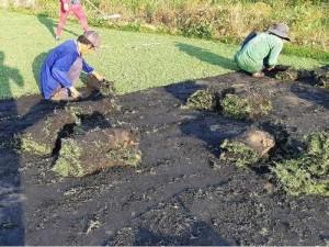Cỏ thảm cỏ kiểng tại vườn