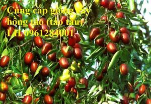 Chuyên cung cấp giống cây hồng, cây táo tàu, đại táo, số lượng lớn, giao hàng toàn quốc