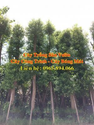 Nhà vườn chuyên cung cấp cây trồng sân vườn biệt thự, cây công trình, cây bóng mát, cây xanh đô thị