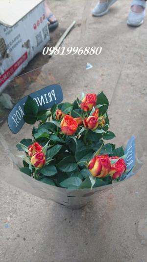 Hoa hồng tezza - Giống hoa được nhiều người yêu thích