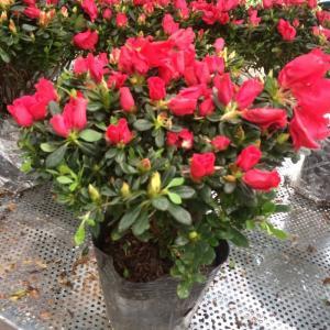 Hoa đỗ quyên - Trang trí cho không gian gia điình