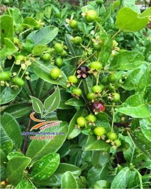 Cherry trái chi chít đầy vườn, khách nhanh tay nhé!