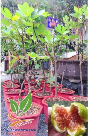 Cây sung Mỹ - Loại cây ăn quả ngon tốt cho sức khỏe