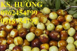 Bán giống cây hồng táo, cây táo tàu trung quốc, cây táo tầu làm thuốc, giao cây toàn quốc, lh 0962454799//0918754799
