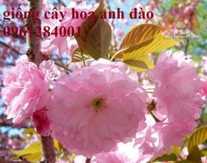 Cây hoa anh đào, hoa anh đào Nhật Bản cánh kép - viencaygiongtrunguong