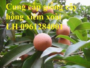 Cung cấp cây giống hồng xiêm xoài, hồng xiêm quả to, số lượng lớn, cam kết chất lượng