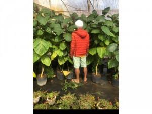 Cà chua thân gỗ cây 1,7 mét
