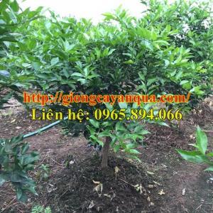 Chuyên cung cấp cây cam vinh choai, cam v2 choai, cam đường canh choai - cây trưởng thành chất lượng cao