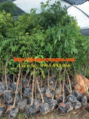 Cung cấp cây nhãn choai, nhãn sớm choai, nhãn Hương Chi choai, nhãn miền choai, nhãn Hưng Yên choai