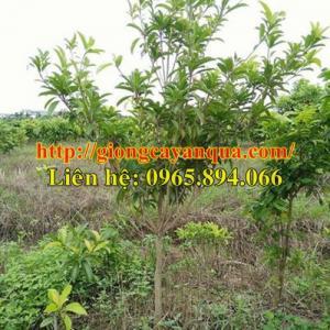 Chuyên cung cấp Cây Hồng xiêm choai, hồng xiêm xoài choai, hồng xiêm trưởng thành - cây chất lượng cao