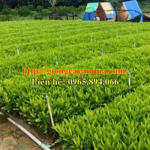 Chuyên cung cấp cây keo giống, giống keo lai, giống keo hom, keo tai tượng, keo gieo hạt - giống chất lượng cao