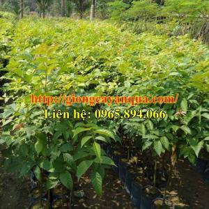 Cung cấp giống lát hoa, cây giống lát hoa, giống lát hoa công trình - cây đủ quy cách - cây chất lượng cao
