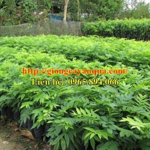 Cung cấp giống sưa trắng, cây giống sưa trắng, cây sưa công trình - Đại học Nông nghiệp 1 Hà Nội