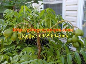 Chuyên cung cấp giống cóc Thái, giống cóc siêu quả, giống cóc Thái Lan, cây giống cóc lùn - cây giống chất