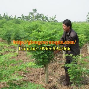 Giống cây chùm ngây, cây chùm ngây giống - Đại học Nông nghiệp 1 Hà Nội