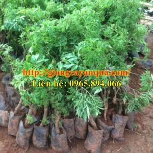 Cung cấp giống đinh lăng lá nếp, giống đinh lăng lá nhỏ, cây giống đinh lăng - giống cây chất lượng cao