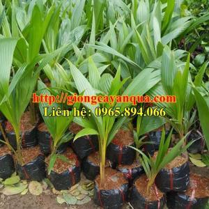 Cung cấp giống dừa xiêm lùn, dừa xiêm lùn F1, dừa xiêm xanh lùn, dừa xiêm vàng