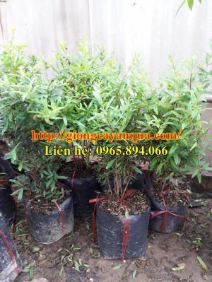 Cung cấp cây giống lựu đỏ, giống lựu đỏ lùn F1, cây giống lựu đỏ - Đại học Nông nghiệp 1 Hà Nội