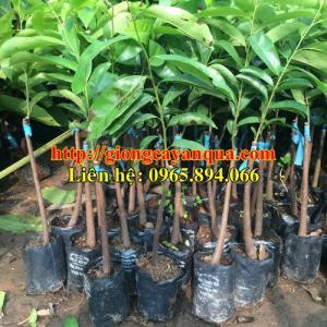 Cung cấp giống cây mãng cầu xiêm, mãng cầu xiêm thái lan - cây giống mãng cầu