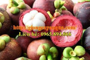 Cây giống măng cụt, cây trái măng cụt - Đại học Nông nghiệp 1 Hà Nội