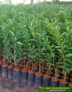 Giống quýt đường thái lan, cây giống ghép sinh trưởng nhanh, trái nhỏ ăn ngọt.
